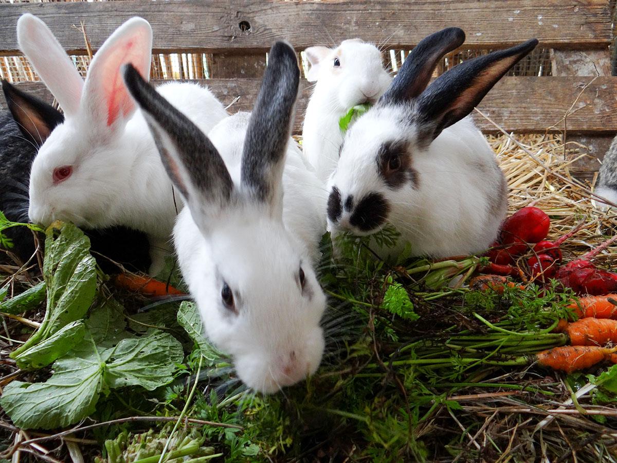 Allevamento dei conigli
