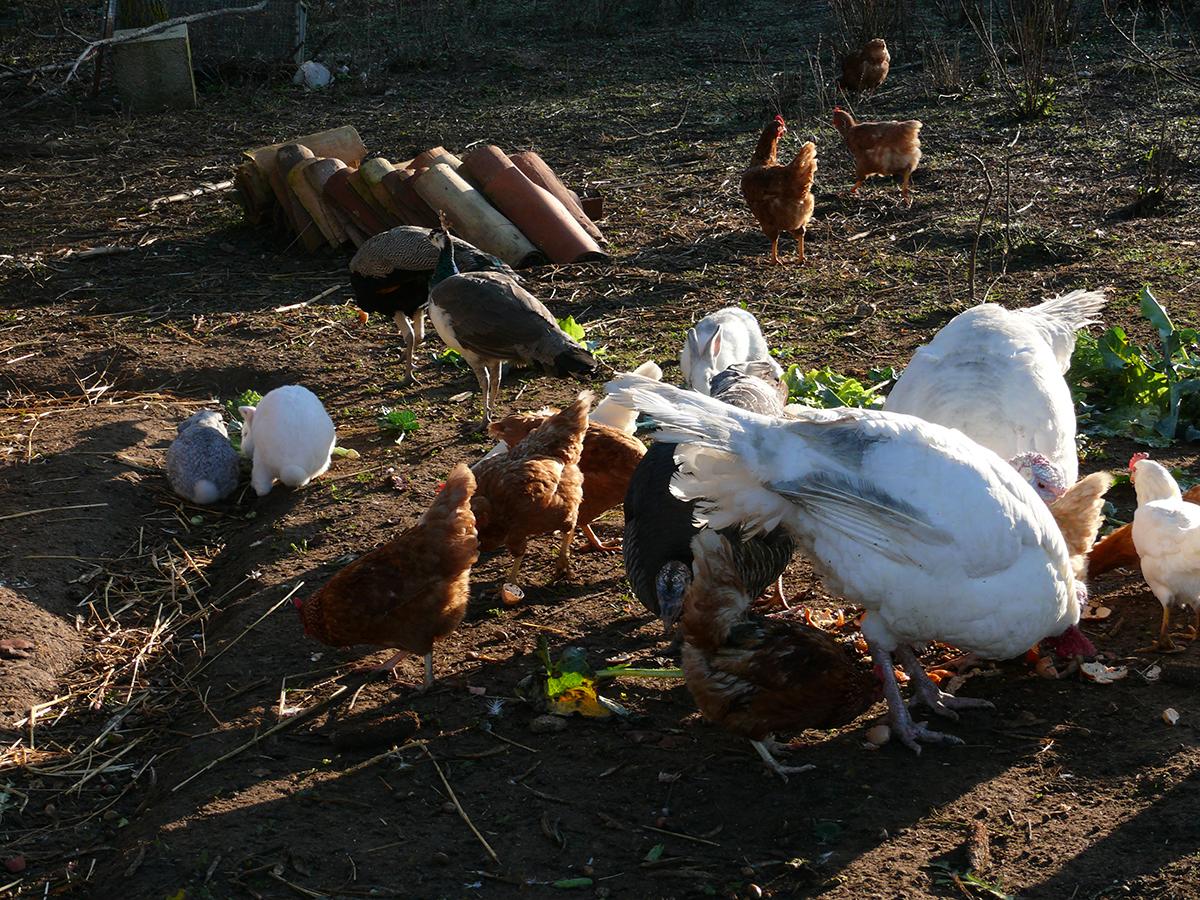 Allevamento di polli e galline